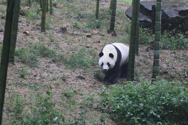 奇遇丨江苏溧阳南山竹海熊猫搬家记